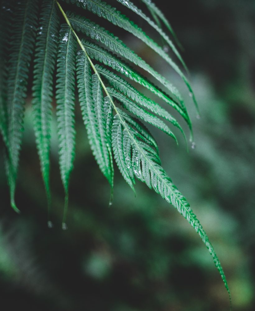 Photo of a single fern leaf in the rain.